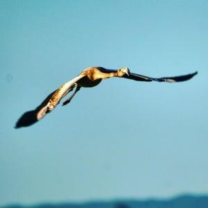 Flamenc (Phoenicopterus roseus). Foto: Francesc Ferrer.